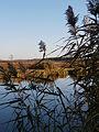 Очерет на фоні річки Стохід.JPG