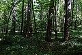 Пам'ятка природи Деревицькі модрини. Любарське л-во (кв.12). 11.05.2018 2.jpg