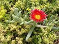 Растения в Седово 105.JPG