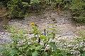 Рослини поблизу Манявського водоспаду.jpg