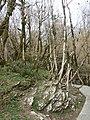 Тисо-самшитовая роща (300 га),1 км от Хосты вверх по течению реки, Хостинский район, Сочи, Краснодарский край.jpg