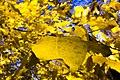 برگ زرد-پاییز-yellow leaves-falling leaves-fall 03.jpg