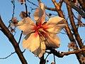 زهرة شجرة اللوز ,Fleur Amandier...L'arbaa ,Blida - panoramio.jpg