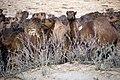 چرای گله شتر - حوالی کاروانسرای دیر گچین قم - پارک ملی کویر 23.jpg
