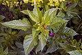 گل تاج خروس-Unidentified Amaranthus in iran 09.jpg