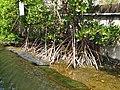 五梨跤 Rhizophora stylosa Griff - panoramio.jpg
