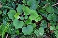 台灣山菊 Farfugium japonicum var. formosanum - panoramio.jpg