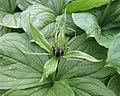 四葉重樓 Paris quadrifolia -比利時 Ghent University Botanical Garden, Belgium- (9219875143).jpg