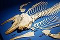 小虎鯨骨骼標本.jpg