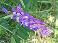 廣布野豌豆 Vicia cracca -昆明石林 Kunming, China- (9200908690).jpg