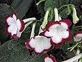 海角櫻草 Streptocarpus Roulette Cherry -英格蘭 Wisley Gardens, England- (9252405925).jpg