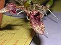 石豆蘭屬 Bulbophyllum agastor -香港沙田國蘭展 Shatin Orchid Show, Hong Kong- (9207605336).jpg