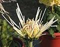 菊花-祥雲舞鶴 Chrysanthemum morifolium 'Auspicious Cloud Dancing Crane' -中山小欖菊花會 Xiaolan Chrysanthemum Show, China- (12026336605).jpg