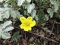 蕨麻(鵝絨委陵菜) Potentilla anserina -比利時 Ghent University Botanical Garden, Belgium- (9216114392).jpg
