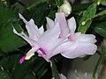 蟹爪蘭 Schlumbergera truncata (Zygocactus truncatus) -香港公園 Hong Kong Park- (9190651065).jpg