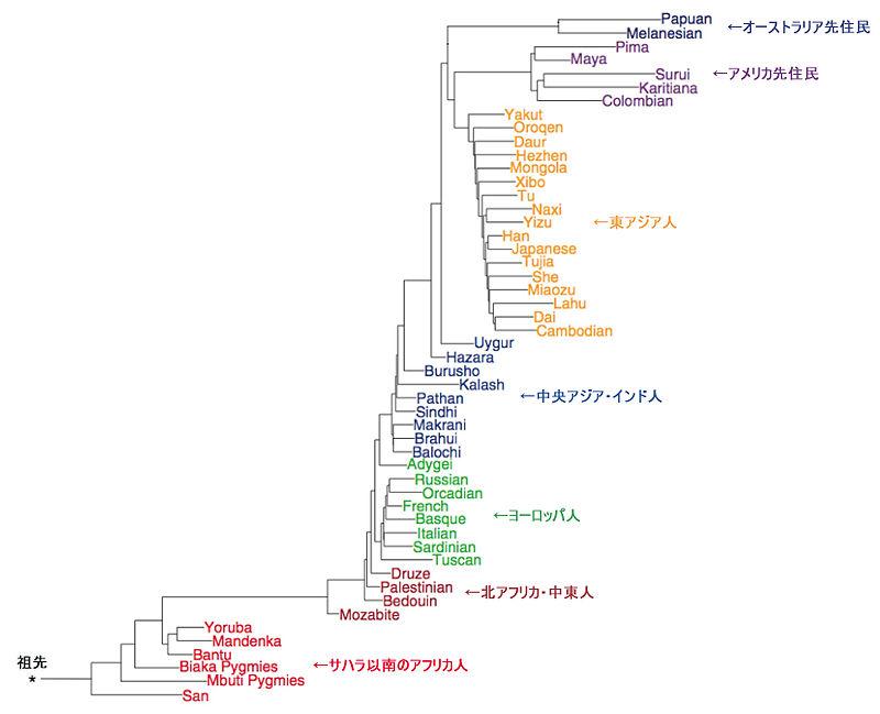 変動ゲノムワイドパターンから求められる51集団の遺伝的系統樹 Science vol319(22 FEBRUARY 2008)