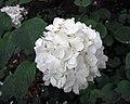 雪球莢迷 Viburnum plicatum v rotundifolium -比利時 Leuven Botanical Garden, Belgium- (9237503101).jpg