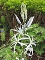 霞花屬 Camassia cusickii -荷蘭園藝展 Venlo Floriade, Holland- (9198103709).jpg