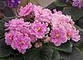 非洲紫羅蘭 Saintpaulia Angel's Petticoats Sport -香港花展 Hong Kong Flower Show- (33687058901).jpg