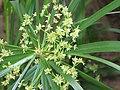 風車草 Cyperus flabelliformis -香港太和 Taipo, Hong Kong- (9222679836).jpg