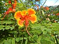 08988jfOrange flowers in the Philippinesfvf 01.jpg