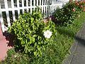 0955jfHibiscus rosa sinensis Linn White Pinkfvf 01.jpg