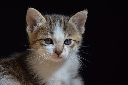 A 1-month-old kitten