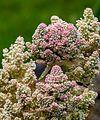 1024 Rhabarber-Blütenstand 2903.jpg