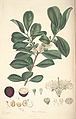 16 Psidium cattleianum - John Lindley - Collectanea botanica (1821).jpg