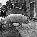 1958 visite d'une délégation INRA au Haras du Pin Cliché Jean Joseph Weber-2-1.jpg