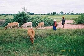 20030903thai cow.jpg