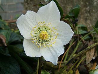 Tepal - Image: 2006 12 18Helleborus niger 19