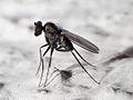 2010-06-19 Diptera.jpg