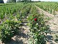20110627Schnittblumenfeld Reilingen2.jpg