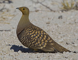 2012-namaqua-sandgrouse-male.jpg