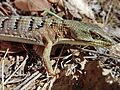 2012.05.20 southern alligator lizard Elgaria multicarinata multicarinata, Stebbins Cold Canyon Reserve, CA 012.jpg