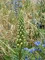 20120619Verbascum nigrum3.jpg