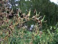 20120828Lactuca serriola1.jpg