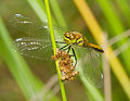 2014.07.17.-36-Zadlitzgraben Pressel--Schwarze Heidelibelle-Weibchen.jpg