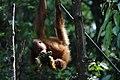 2014 Borneo Luyten-De-Hauwere-Bornean orangutan-04.jpg