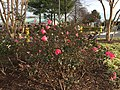 2015-12-27 13 58 35 Roses blooming in December at the Franklin Farm Shopping Center in the Franklin Farm section of Oak Hill, Fairfax County, Virginia.jpg