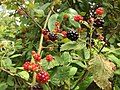 2017-07-04 12 16 53 Ripening blackberries along at walking path in the Franklin Farm section of Oak Hill, Fairfax County, Virginia.jpg