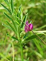 20170602Vicia sativa ssp nigra1.jpg