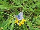 2018-06-01 (139) Lycaenidae (gossamer-winged butterfly) at Bichlhäusl in Frankenfels, Austria.jpg