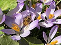 2021-03-08 14 04 59 A honey bee pollinating Crocus tommasinianus flowers along Tranquility Court in the Franklin Farm section of Oak Hill, Fairfax County, Virginia.jpg