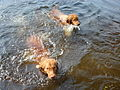 2 Tollers in the water.JPG