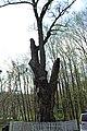 300-літній дуб (Вінниця) 02.JPG