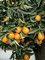 4-3-fortunella margarita 21.jpg