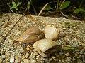 4022Common houseflies cats ants plants foods of Bulacan 63.jpg