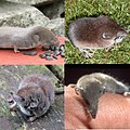 4 shrews.jpg